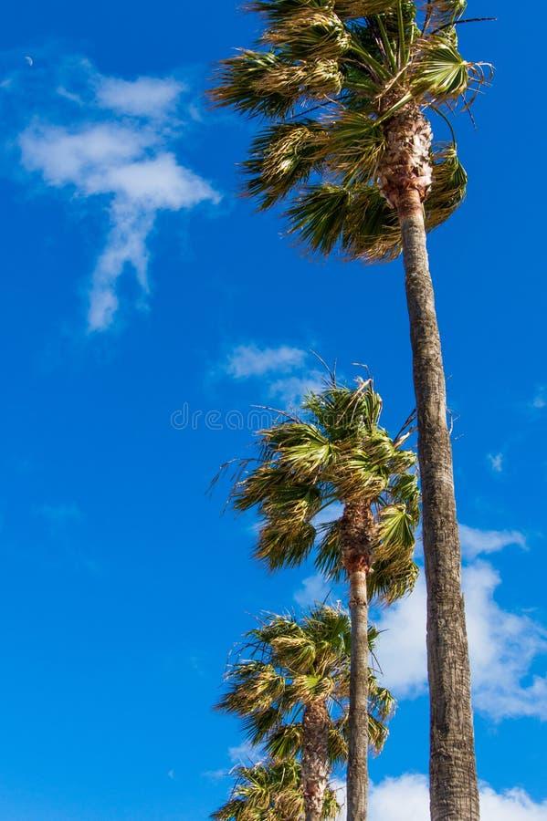 Palmeras ventosas vistas de debajo con el cielo azul claro foto de archivo