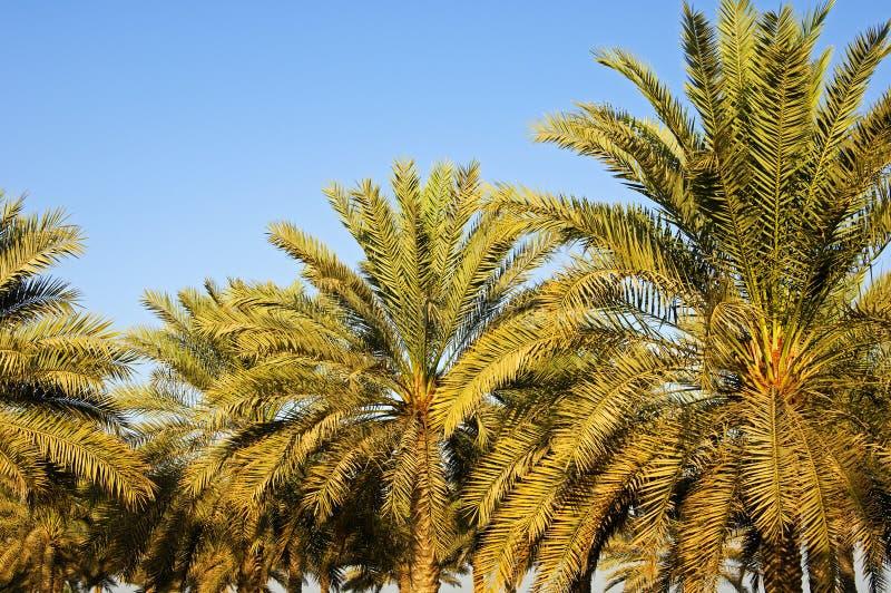 Palmes de datte photographie stock libre de droits