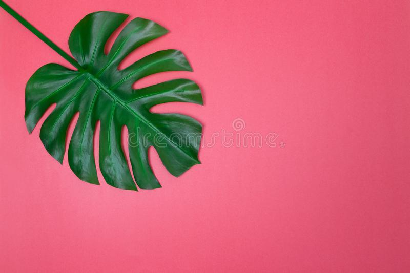 Palmette de Monstera sur le fond rose vibrant photos libres de droits
