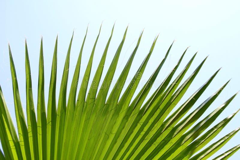 Palmette verte avec les bords pointus photographie stock libre de droits