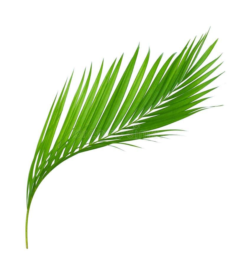 Palmette verte d'isolement sur le blanc photos libres de droits