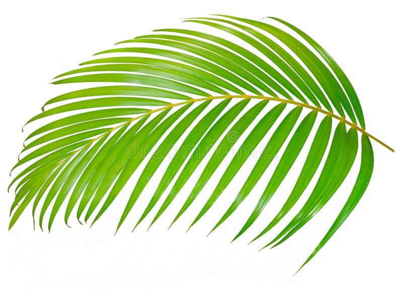 Palmette verte d'isolement sur le fond blanc avec le chemin de coupure image stock