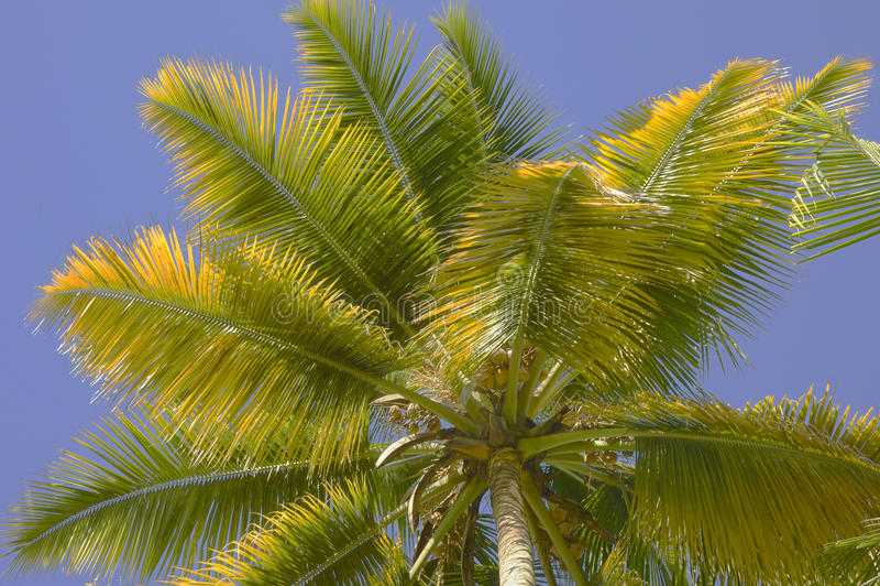 Palmettes jaunâtres de noix de coco photographie stock
