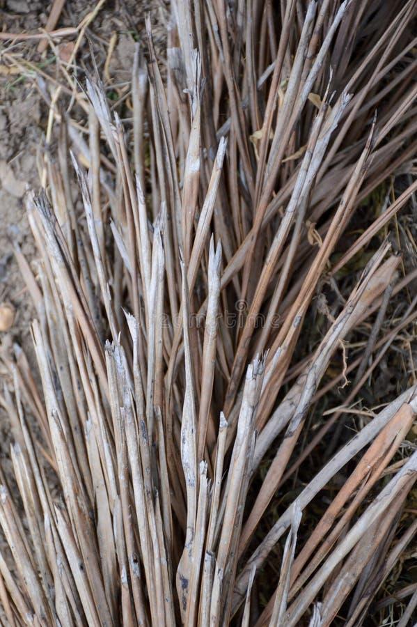 Palmettes sèches images stock