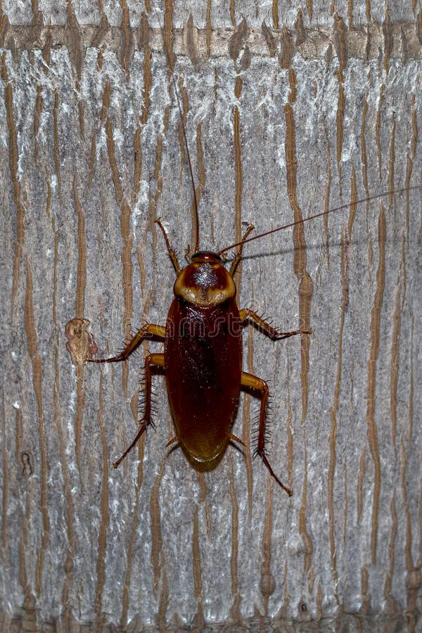 Palmetto Bug, Cochroach. A Palmetto Bug, cochroach on a tree limb at night time royalty free stock image