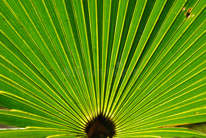 Palmetto Fan. A leaf of a palmetto tree backlit by the sun royalty free stock photos