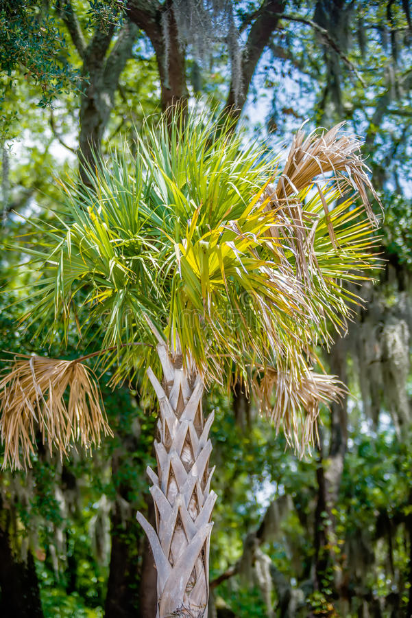 Palmetto tree set against a Carolina blue sky. stock image