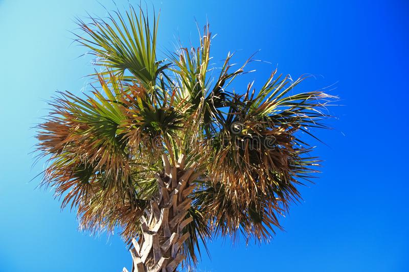 Palmetto Tree. A palmetto tree set against a cloudless sunny blue sky. Myrtle Beach, South Carolina stock images