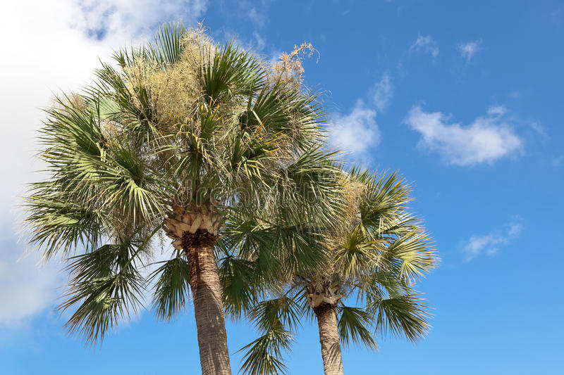 Palmetto Trees. Two palmetto trees against a blue sky stock photo