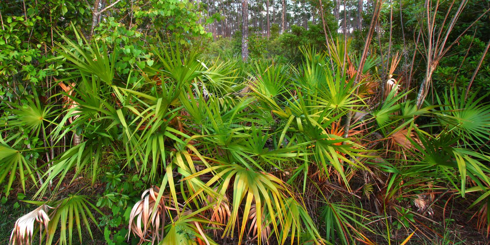 Palmetto Understory - Everglades royalty free stock images
