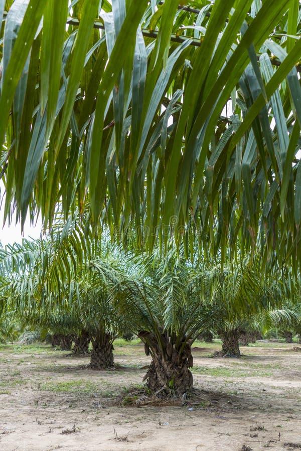 Palmier à huile, Thaïlande photo libre de droits