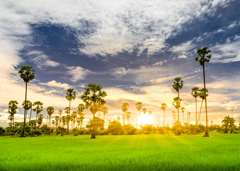 Palmier à sucre images libres de droits