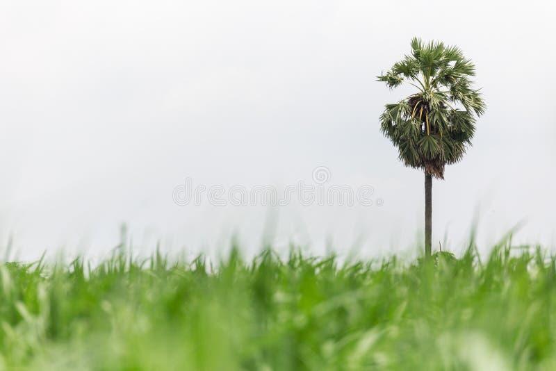 Palmier à sucre dans la ferme de maïs photos stock