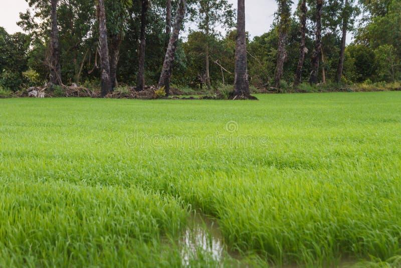 Palmier à sucre et champ de maïs image libre de droits
