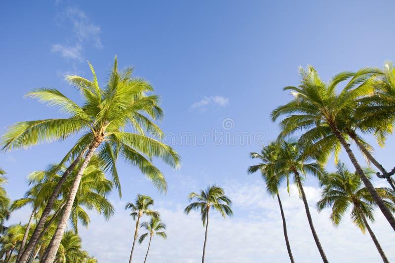 Palmier photographie stock libre de droits