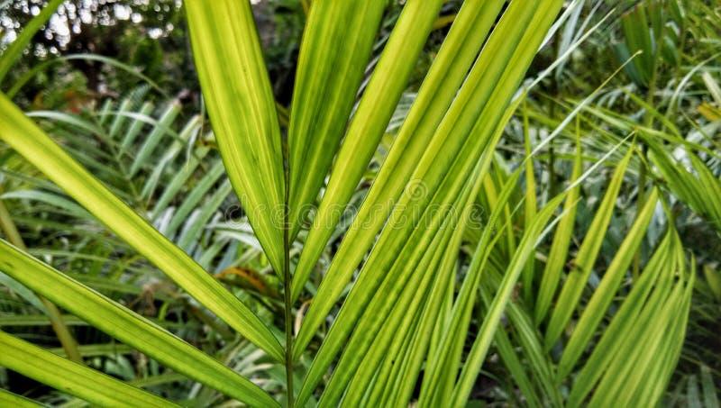 Palmier africain d'huile d'Arecacea photos stock