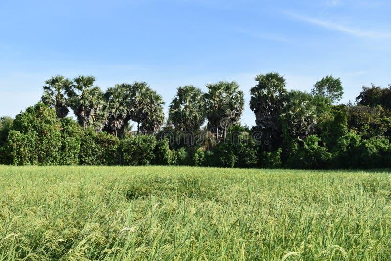 Palmier au Cambodge image stock