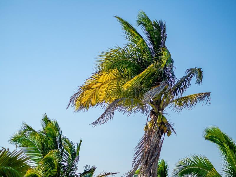 Palmier avec des noix de coco soufflant dans le vent contre un ciel bleu images stock