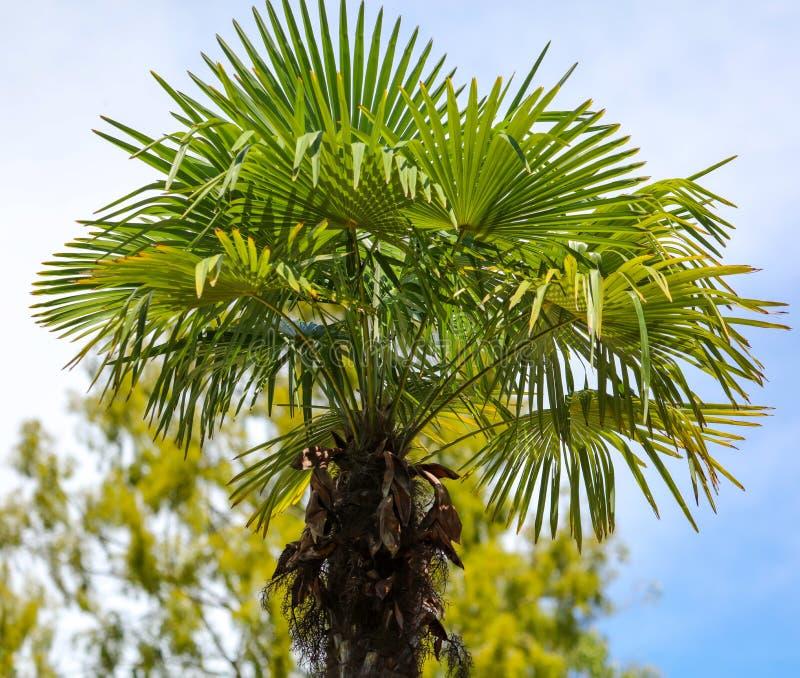 Palmier contre le ciel bleu Climat subtropical photo libre de droits