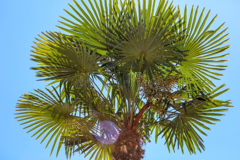 Palmier contre le ciel bleu Climat subtropical image stock