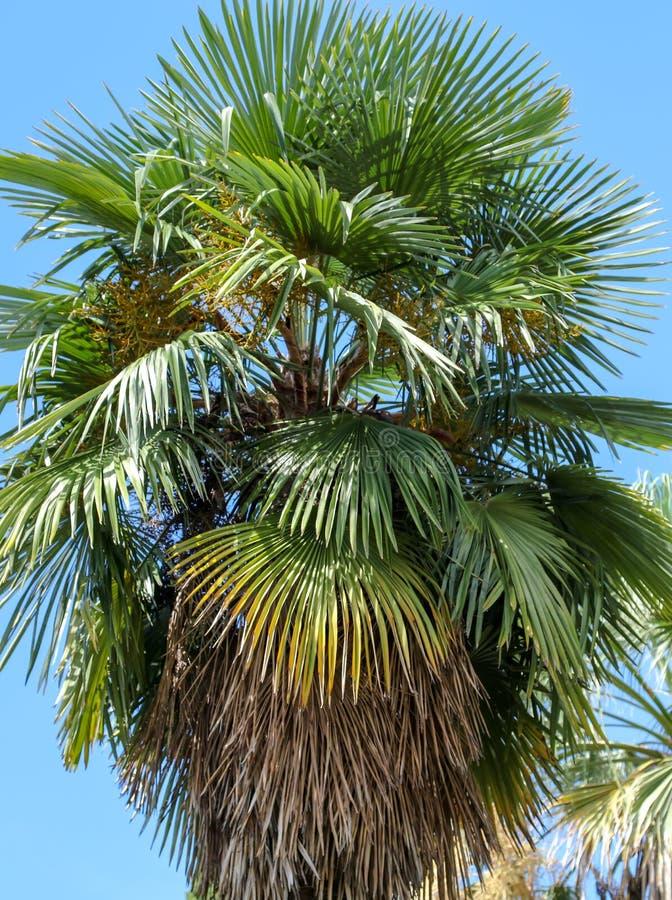 Palmier contre le ciel bleu Climat subtropical photographie stock