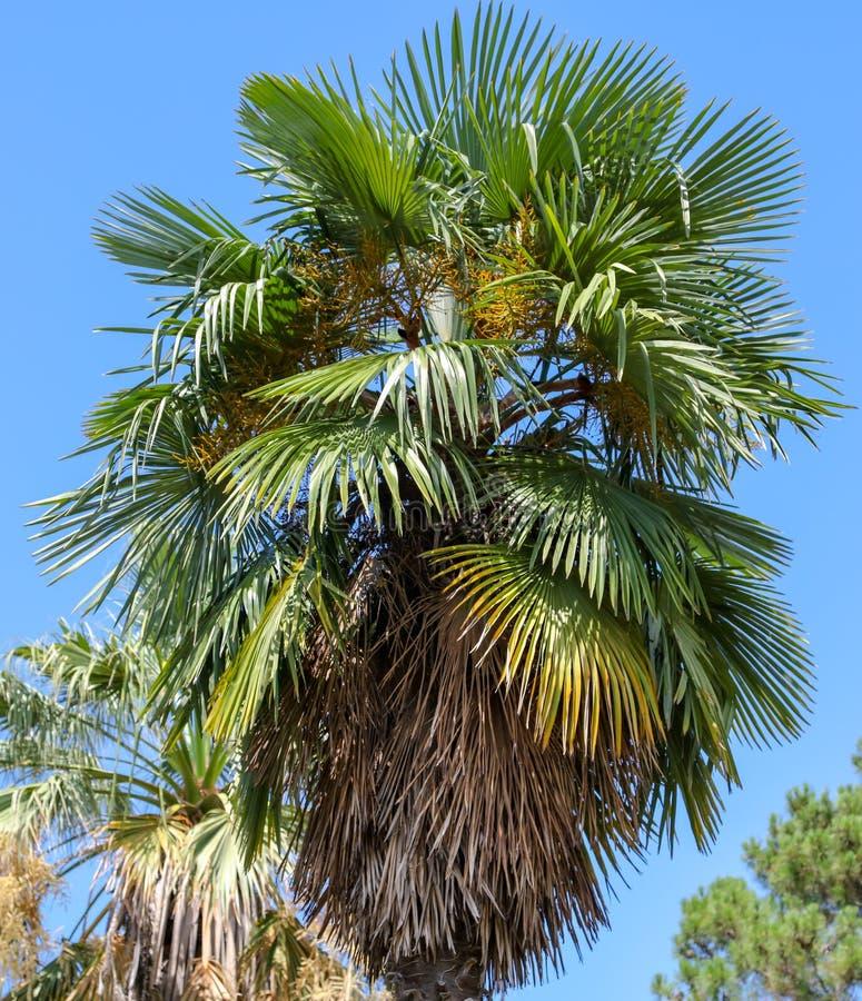 Palmier contre le ciel bleu Climat subtropical photos stock