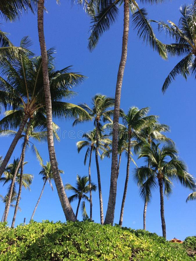 Palmier d'Hawaï images libres de droits