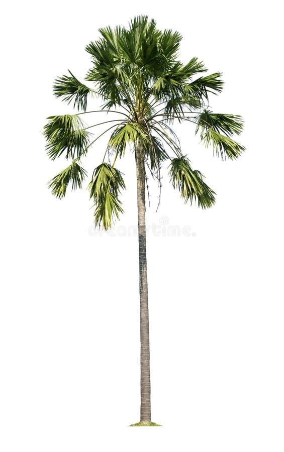 Palmier d'isolement sur le fond blanc avec des chemins de coupure illustration libre de droits