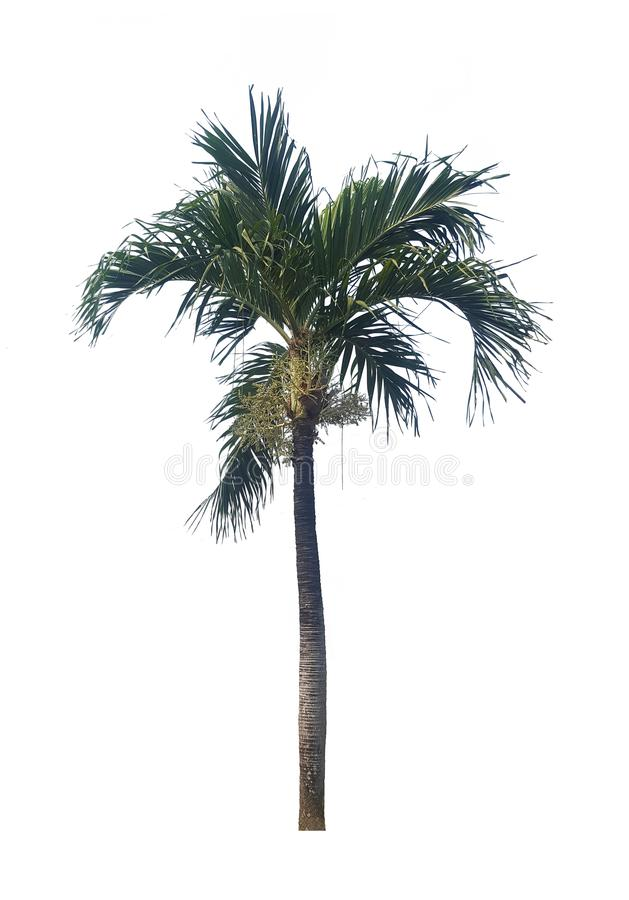 Palmier d'isolement sur le fond blanc pour le graphique photos libres de droits