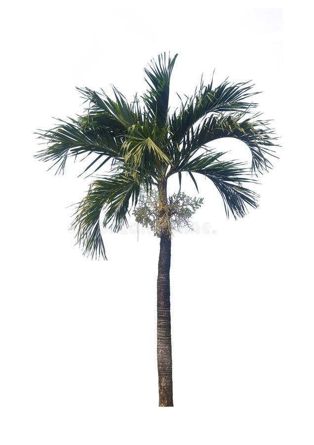 Palmier d'isolement sur le fond blanc pour le graphique photos stock