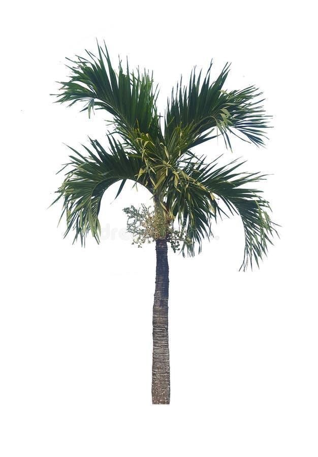 Palmier d'isolement sur le fond blanc pour le graphique photographie stock libre de droits