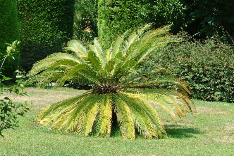 Palmier dans le beau jardin du parc de Pallavicino de villa photos libres de droits