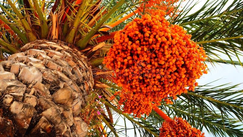 Palmier dattier orange avec des fruits de date image stock