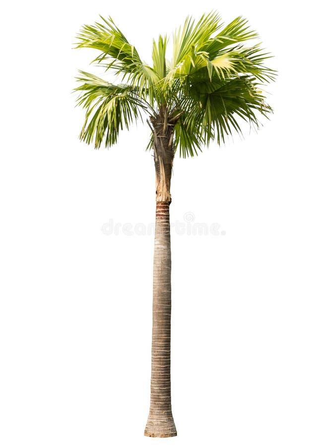 Palmier de bétel d'isolement photo libre de droits