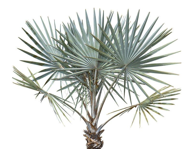 Palmier de Bismarck photographie stock