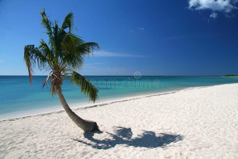 Palmier de Caribic photos libres de droits