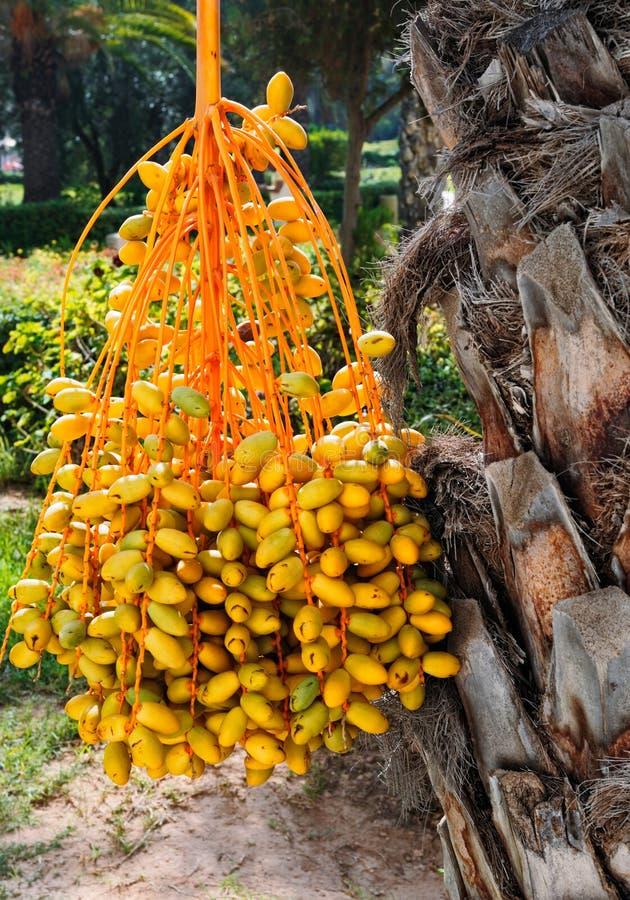 palmier de datte photo libre de droits