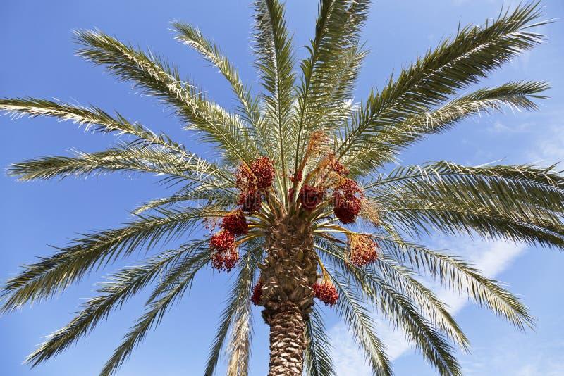 Palmier de datte avec des dattes image libre de droits