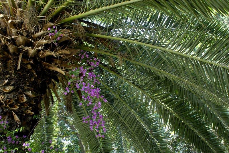 Palmier de datte en fleur photographie stock libre de droits