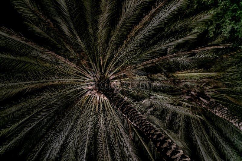 Palmier de palmier-dattier de paume beau haut dans l'environnement de désert dans l'heure d'été images libres de droits