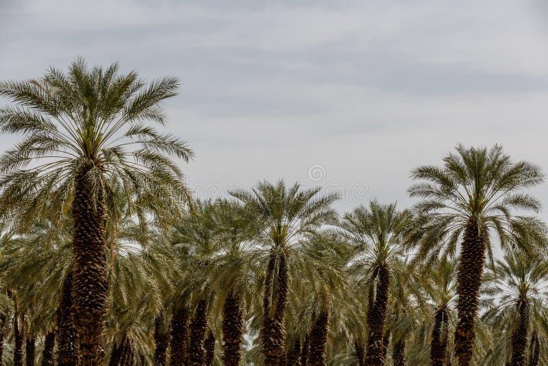 Palmier de palmier-dattier de paume beau haut dans l'environnement de désert dans l'heure d'été photo stock