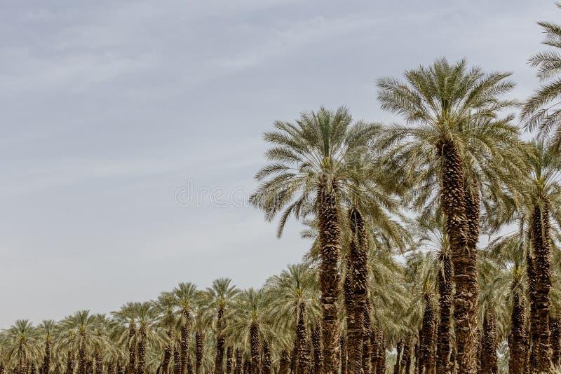 Palmier de palmier-dattier de paume beau haut dans l'environnement de désert dans l'heure d'été image libre de droits