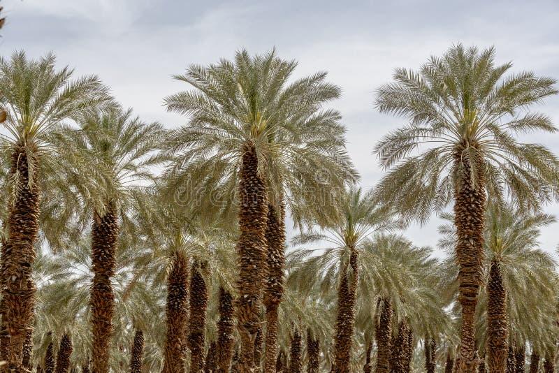 Palmier de palmier-dattier de paume beau haut dans l'environnement de désert dans l'heure d'été image stock