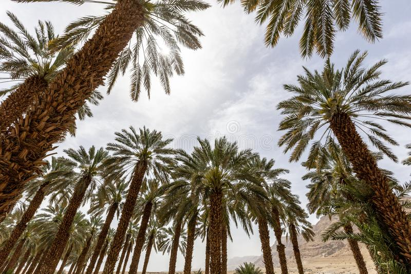 Palmier de palmier-dattier de paume beau haut dans l'environnement de désert dans l'heure d'été photographie stock