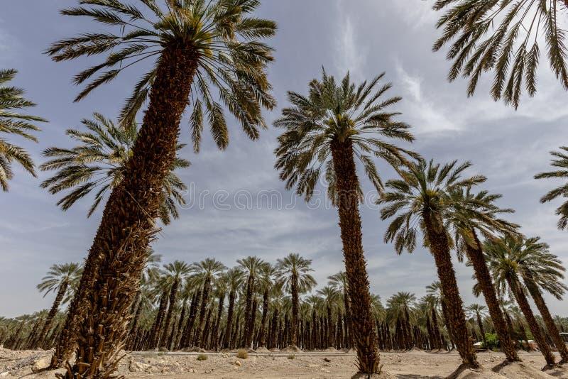 Palmier de palmier-dattier de paume beau haut dans l'environnement de désert dans l'heure d'été photos stock