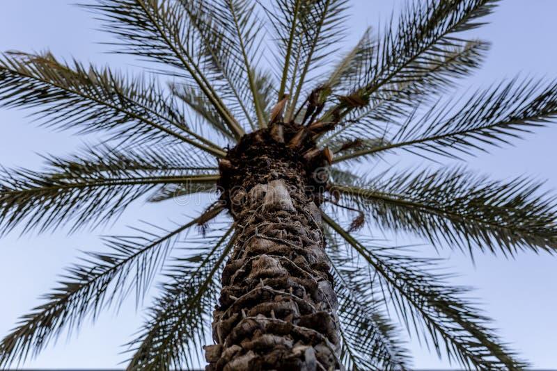 Palmier de palmier-dattier de paume beau haut dans l'environnement de désert dans l'heure d'été photos libres de droits