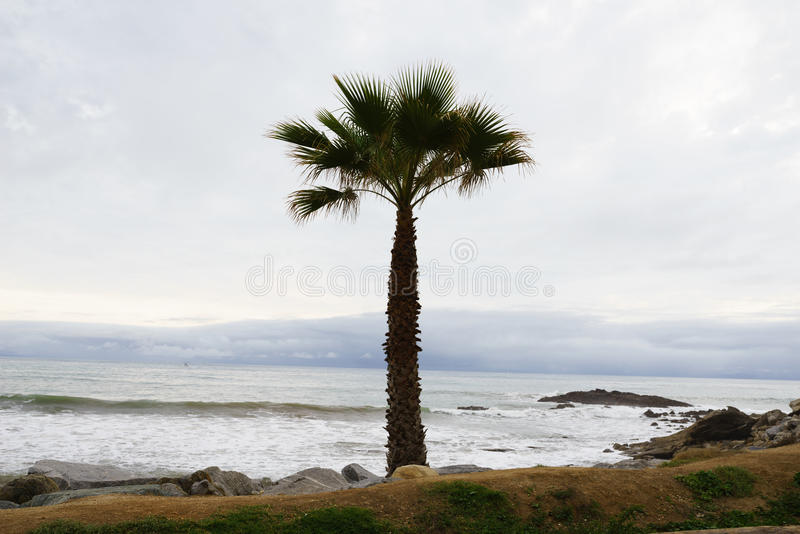 Palmier de fan de la Californie (filifera de Washingtonia) par Ocea Pacifique photos libres de droits