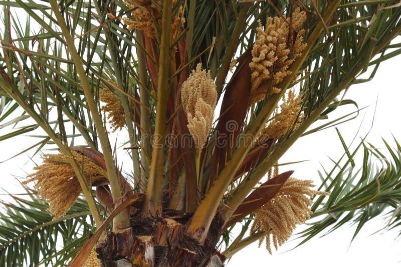 Palmier de floraison en français Le Grau-du-ROI images stock