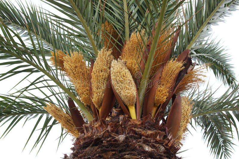 Palmier de floraison, Le Grau-du-ROI, France images libres de droits