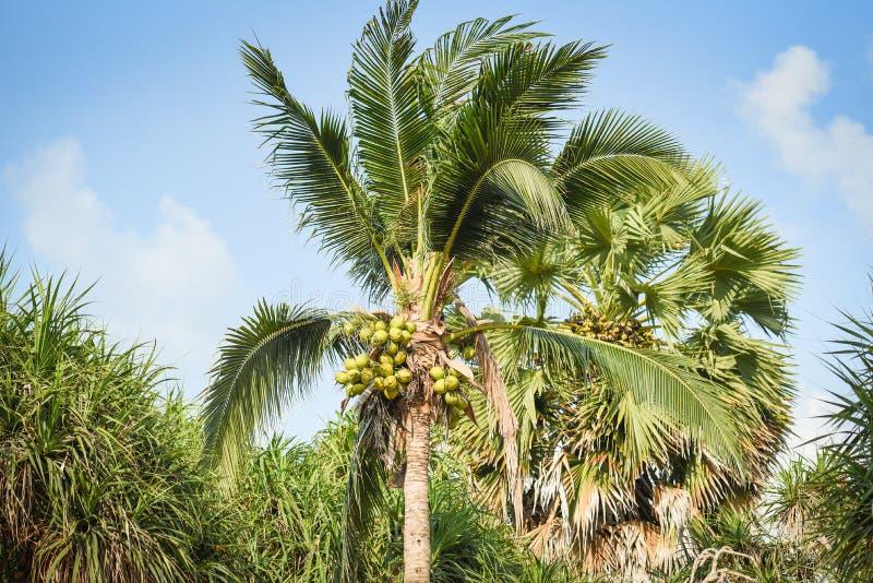 palmier de noix de coco et fruit de noix de coco dans le jardin tropical avec le ciel bleu image libre de droits